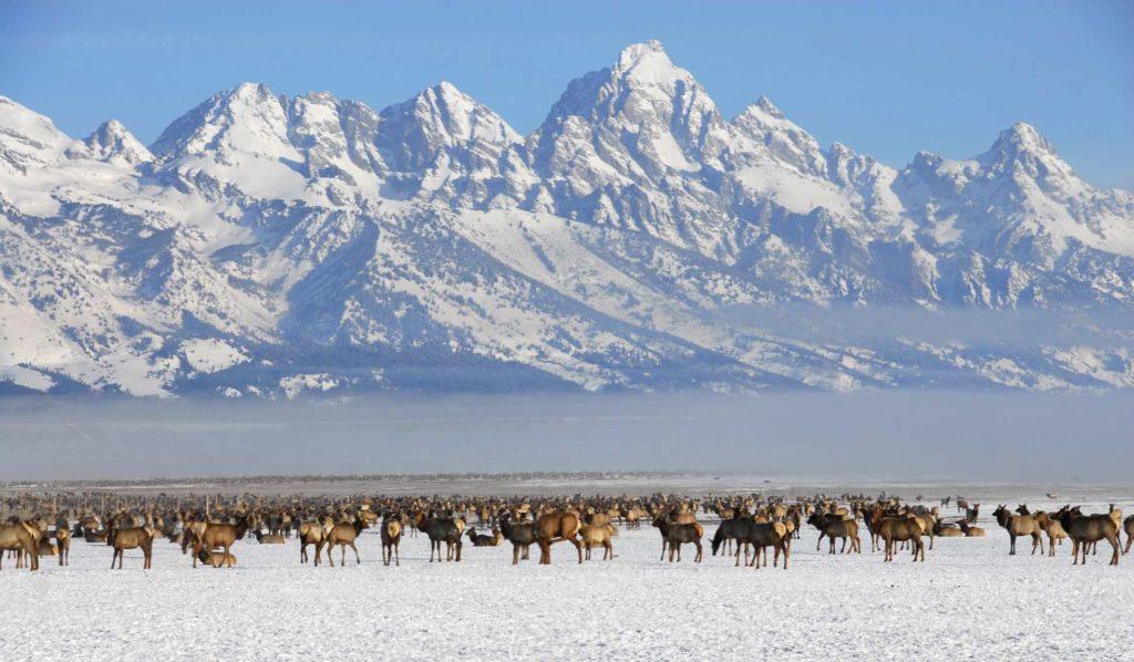 troupeau de elke en hiver devant le grand teton